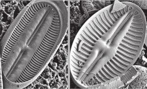 Two freshwater Diploneis