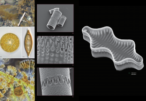 Selection of the beautiful diatom images, light microscopy of living cells and SEM